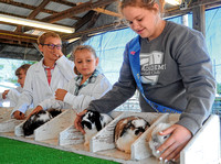 Rabbit judging tests 4-H'ers' knowledge and nerves